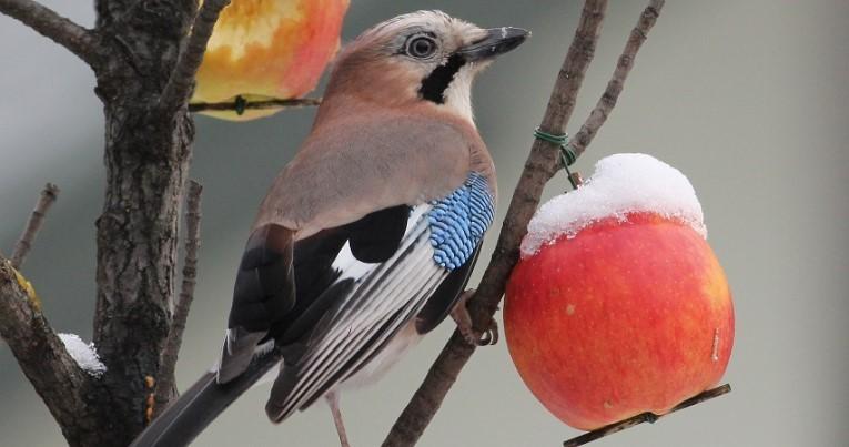Zimowe odmiany jabłek